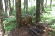 Hunt Idaho Bear